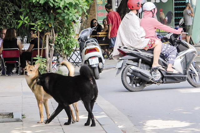 Tình trạng cho thả rông không rọ mõm vẫn xuất hiện nhan nhản trên đường phố Hà Nội. Ảnh: Nhật Tân