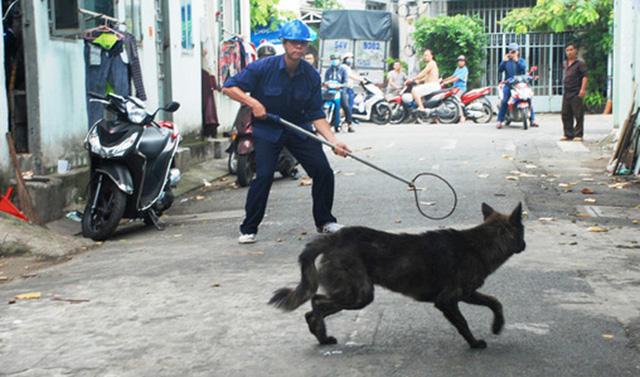 Chó thả rông không đeo rọ mõm, không có người dắt... sẽ bị bắt giữ và xử phạt hành chính đối với người nuôi. Ảnh: Quốc Triều
