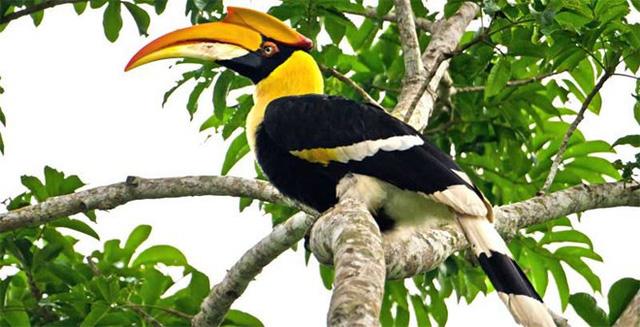 Chim Hồng Hoàng có ý nghĩa văn hóa, tâm linh đặc biệt và giá trị kinh tế lớn. Ảnh: TL