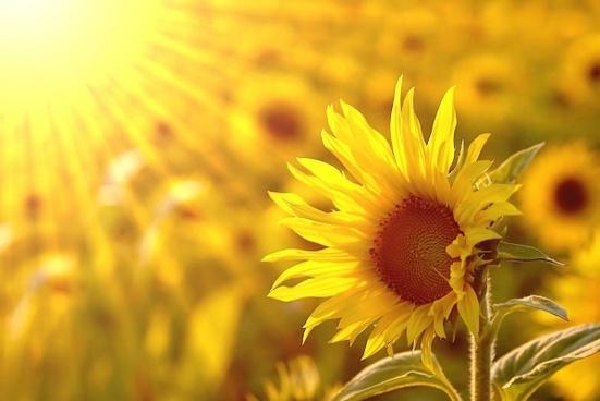 Không chỉ đẹp, hoa hướng dương còn mang những ý nghĩa đặc biệt này