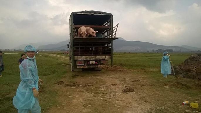 Tiêu hủy gần 100 con lợn bị bệnh lở mồm long móng