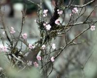 Đào rừng tuyệt đẹp vượt hàng trăm cây số về Hà Nội đón Tết