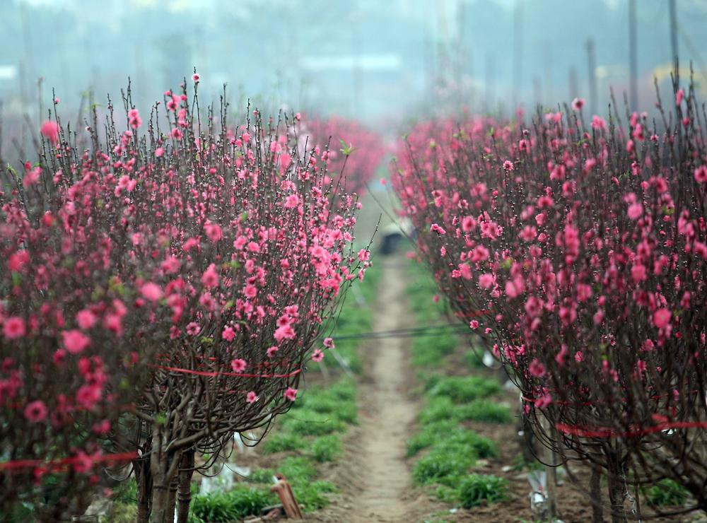 Đào Nhật Tân nở đỏ rực, cả cánh đồng rộng lớn trở nên thơ mộng hơn bao giờ hết