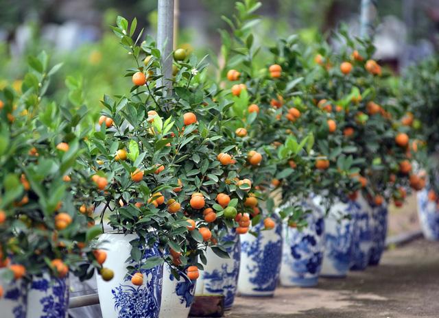 Đối với những loại trái cây to, nặng như: Bưởi, đào tiên, dưa hấu... những nhà vườn đã tạo hình hồ lô nhiều năm nay. Tuy nhiên, việc đưa quả quất bonsai tạo hình hồ lô khiến rất nhiều người không khỏi ngạc nhiên trong dịp Tết này.