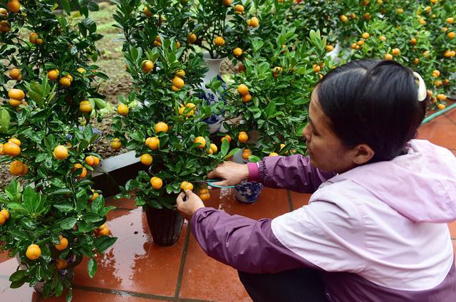 Đến thời điểm hiện tại, gia đình chị đã bán được quá nửa, mang lại thu nhập cao hơn so với những chậu quất bonsai bình thường.