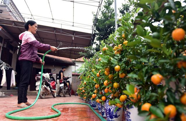 Chị Đỗ Thị Mai - chủ một nhà vườn tại Văn Giang có kinh nghiệm trồng và chăm sóc cây cảnh hàng chục năm nay bất ngờ tung ra thị trường sản phẩm mới, duy nhất gia đình chị có đó là quất bonsai hồ lô.