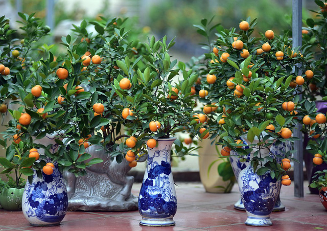 Mỗi chậu quất bonsai hình hồ lô được gia đình bán với giá từ 300.000 - 1 triệu đồng.