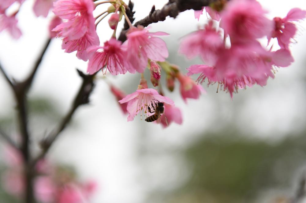 Hà Nội rực rỡ sắc hoa Anh Đào ngày Tết