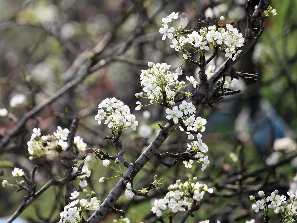 Mê mẩn ngắm hoa lê trắng giá trên 10 triệu đồng/cành hút khách Hà Nội