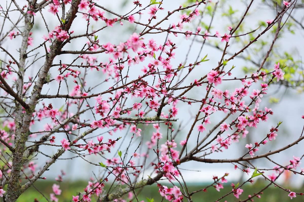 Cận cảnh những loại hoa đào đẹp ngỡ ngàng tại Sun World Fansipan Legend