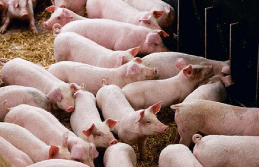Phát hiện ổ dịch tả lợn châu Phi mới tại Thanh Hóa
