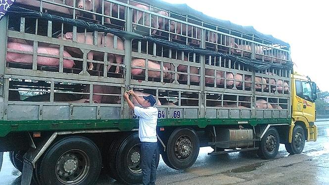Tăng cường kiểm soát việc buôn bán, giết mổ, vận chuyển lợn