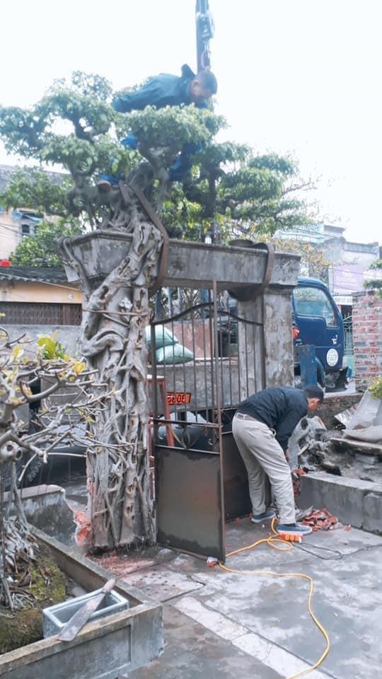 Theo chủ nhân mới của cây sanh thì cây này đẹp và quý nằm ở tổng thể với chiếc cổng, vì thế khi mua cây ông đánh luôn cả cổng về.