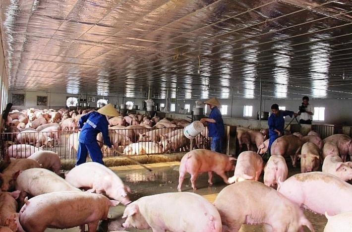 Dịch tả lợn châu Phi đã xuất hiện tại Hà Nội