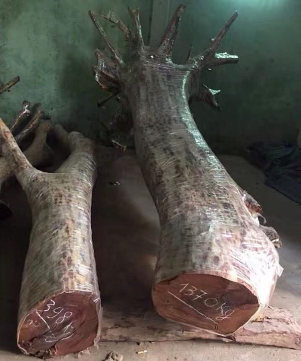 """Hà Nội: Người dân thôn Phụ Chính vẫn loay hoay trước """"giờ G"""" bán đấu giá cây sưa """"trăm tỷ"""""""