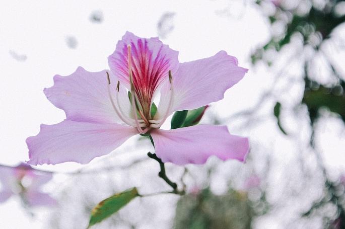 """Đẹp ngỡ ngàng """"rừng"""" hoa ban giữa lòng Thủ đô"""