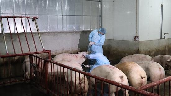 Dịch tả lợn đã lan ra 17 tỉnh thành, 23.000 con lợn bị tiêu hủy