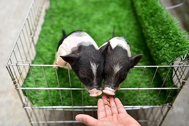 Xử lý nghiêm việc buôn bán trái phép lợn cảnh