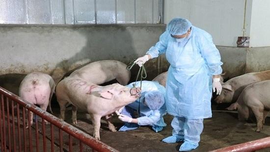 Dịch tả lợn châu Phi đã xuất hiện ở 21 tỉnh, thành phố