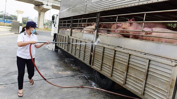 Dịch tả lợn châu Phi diễn ra trên 2 tháng qua, đến nay đã xảy ra ở 21 tỉnh, thành phố với tổng số hơn 64.000 con heo bị tiêu hủy. (Ảnh minh họa: Báo Tuổi trẻ).