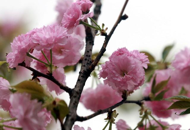 Người dân Thủ đô và du khách có thể vào tham quan lễ hội tại khu vực Vườn hoa Tượng đài Lý Thái Tổ sau 22h00 ngày 29/3/2019 đến hết ngày 31/3/2019.