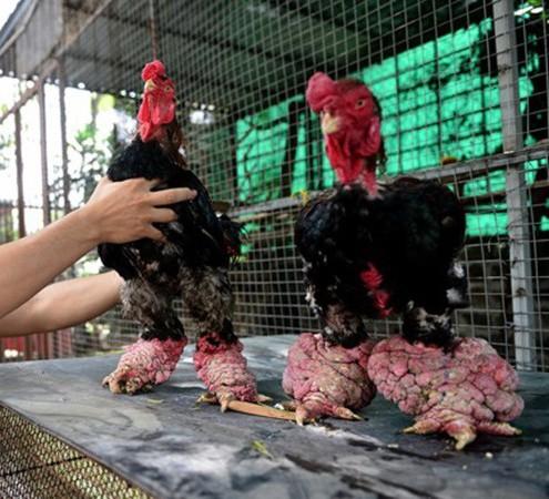 Đặc điểm giống gà này là chân to, màu hồng đỏ, 4 ngón, vẩy rồng, mào ngắn.