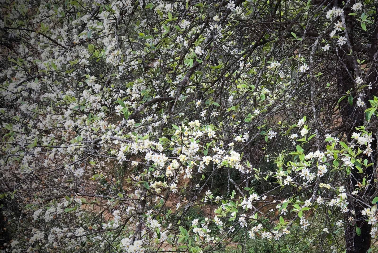 Những bông hoa táo mèo nở bung trên những thân cành mốc thếch sau nhiều tháng ngủ đông.