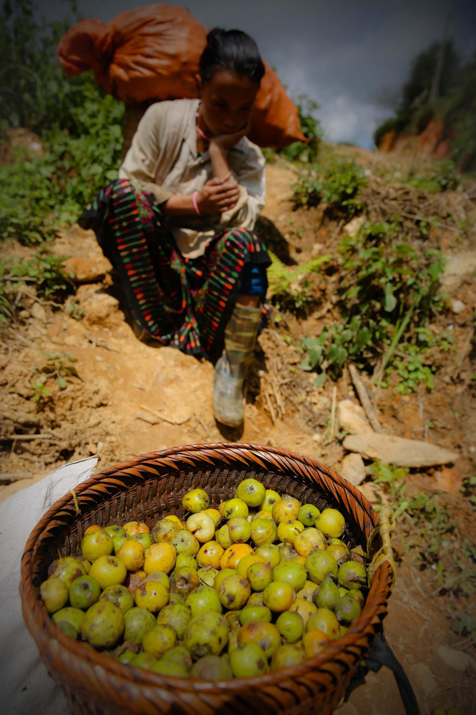 Quả táo mèo thường chín và rụng vào dịp cuối mùa thu trong những cánh rừng xa bản nên bà con dân tộc Mông thường thu nhặt quả về, bán kiếm thêm thu nhập cho gia đình.