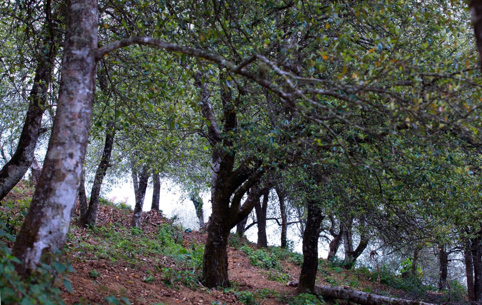 Khí hậu và thổ nhưỡng ở Xím Vàng, Hang Chú) phù hợp để những cánh rừng táo mèo sinh trưởng và thường ra hoa, kết trái dịp cuối tháng Ba, đầu tháng Tư.