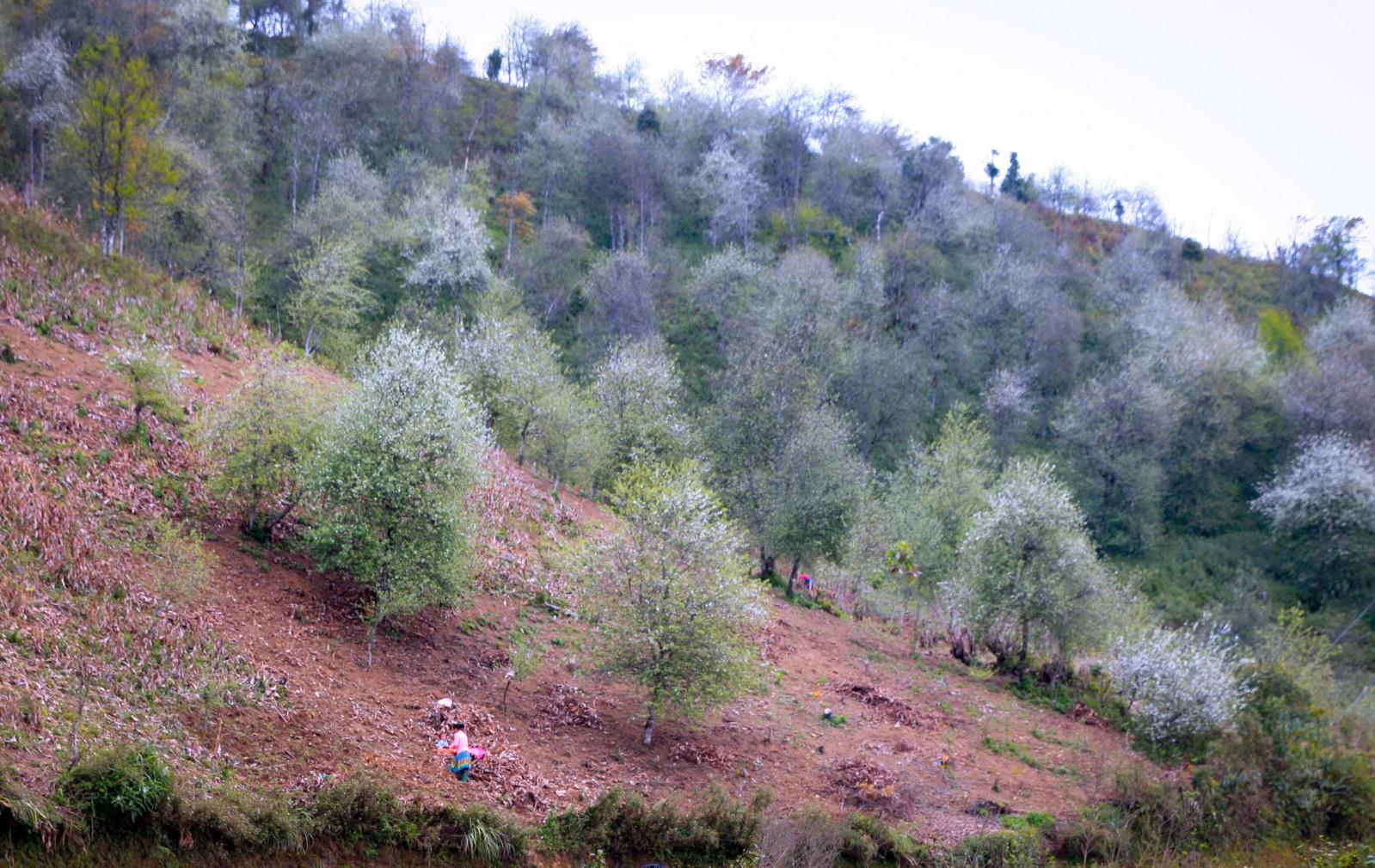Là một trong những nơi có diện tích trồng táo mèo lớn nhất huyện Bắc Yên, khi trổ bông, núi đồi Xím Vàng bừng sáng và ngập tràn màu trắng trong sắc xuân.