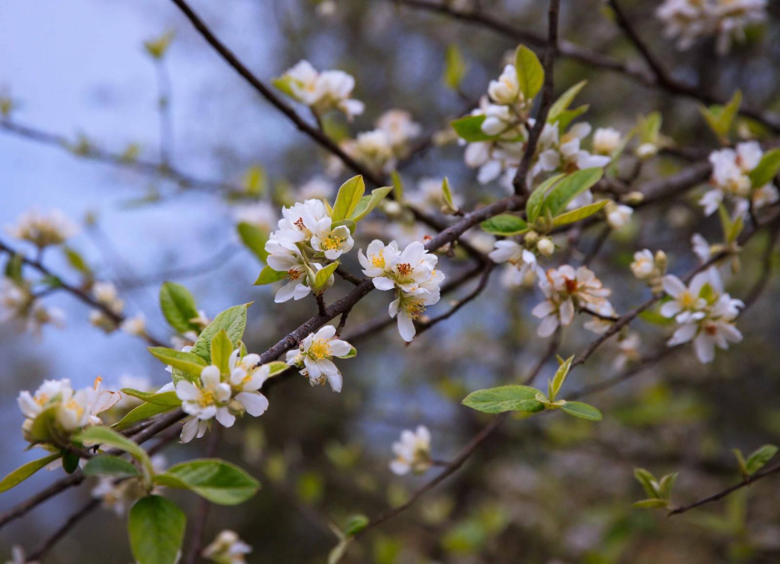 Những chùm hoa táo mèo trắng tinh khôi gồm 3-5 bông chụm lại, nở bung trên những thân cành khẳng khiu.