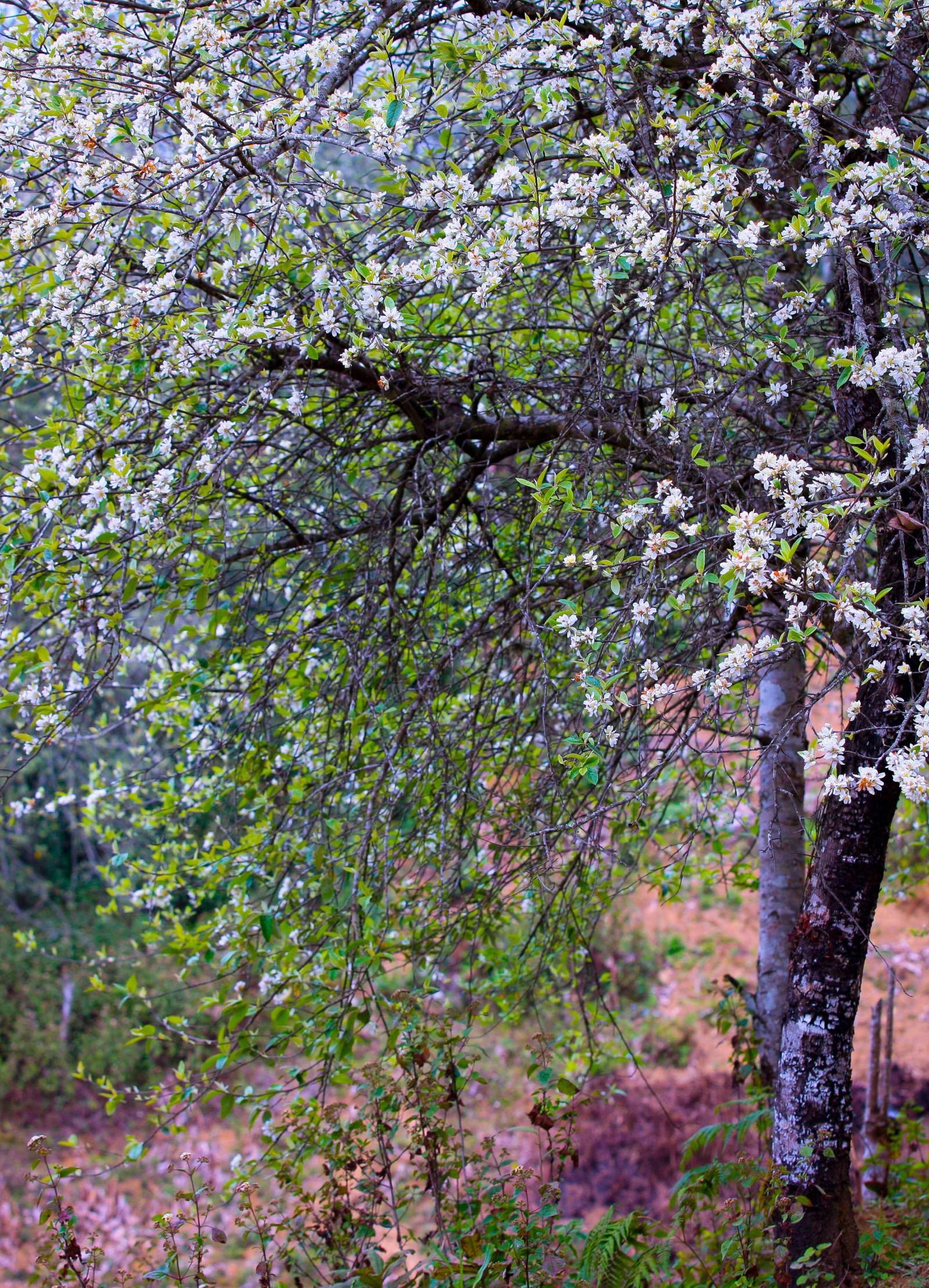 Dưới xuôi, thời gian đo bằng công việc, bằng tuần, bằng tháng còn trên những đỉnh núi cao ở Xím Vàng, nhịp thời gian tính bằng những ngày cây táo mèo ra hoa trắng và những ngày trổ quả xanh.