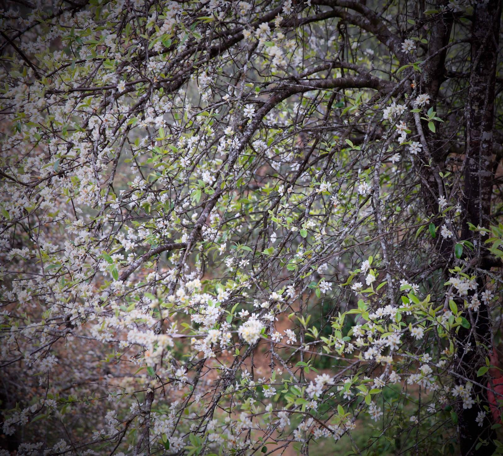 Đến Xím Vàng vào những ngày ra hoa lộng lẫy của táo mèo, lẫn trong màu xanh của lá non là màu trắng tinh khôi của táo mèo mùa trổ bông.