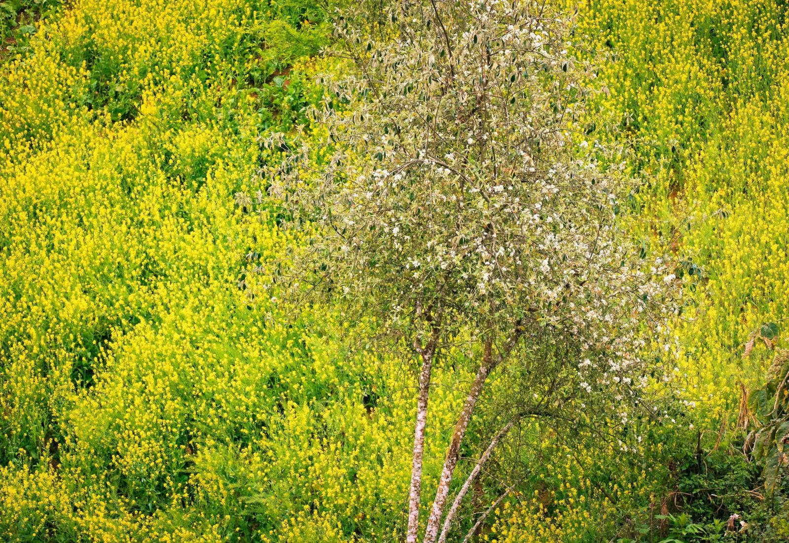 … và cũng là thời điểm những vườn cải vàng của bà con dân tộc Mông ở Xím Vàng nở hoa vàng rực, làm nền cho cây táo mèo đơm hoa trong vườn, tạo nên bức tranh đẹp đa sắc nơi miền sơn cước.
