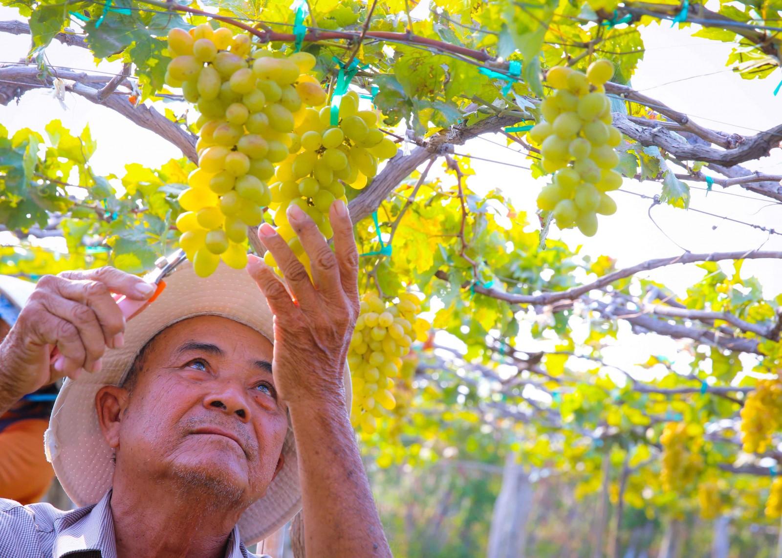 Ông Nguyễn Văn Mọi, người nông dân thuần hậu của vùng đất khát là chủ nông trại nho Ba Mọi nổi tiếng nhất Ninh Thuận.