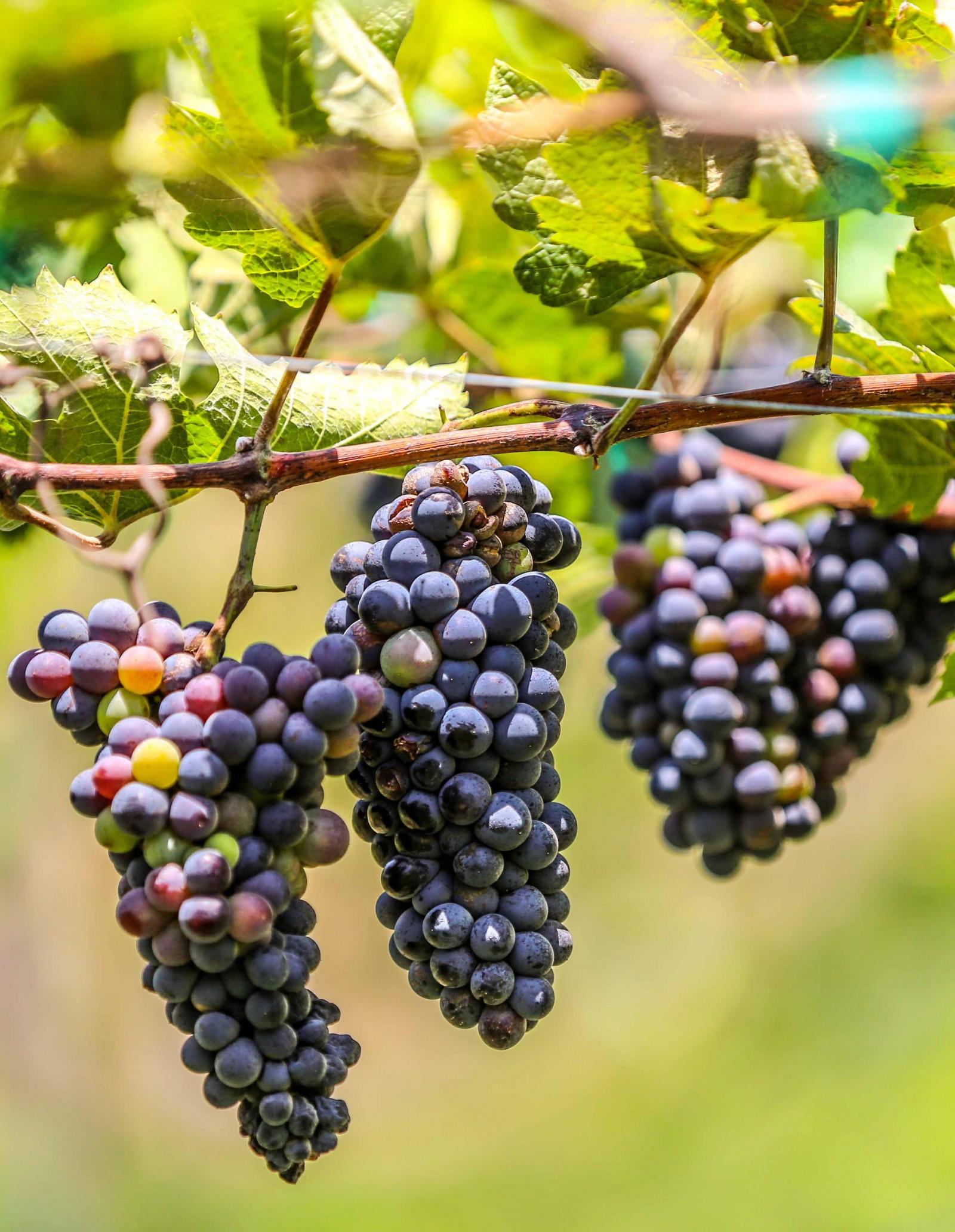 Giống nho Cabernet Sauvignon chuyên làm vang đỏ do ông Ba Mọi trồng làm nguyên liệu sản xuất vang nho.