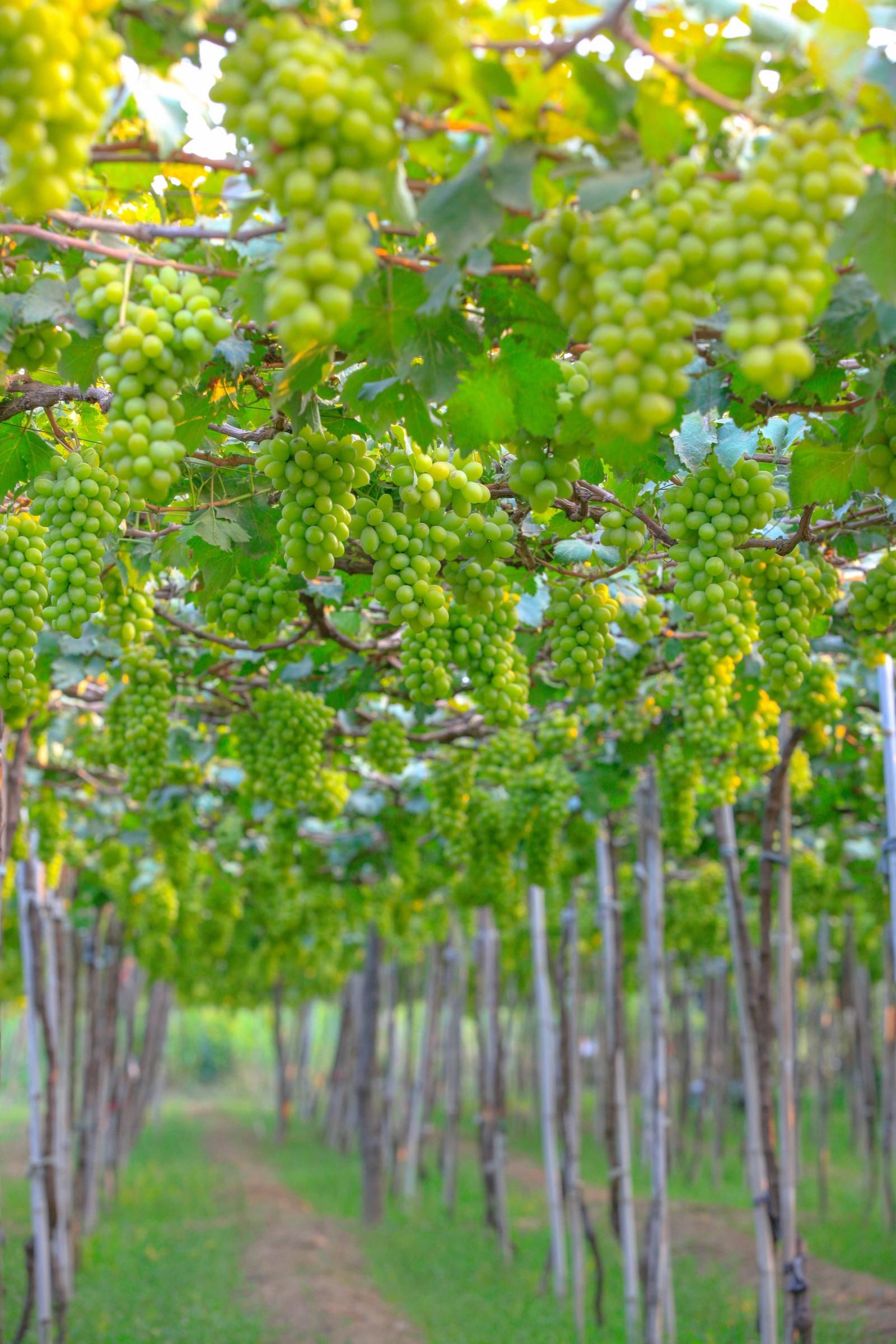 Vào mùa nho bội thu, du khách ghé thăm nông trại nho Ba Mọi sẽ mãn nhãn với ngút ngàn những vườn nho trĩu quả, đủ chủng loại, màu sắc và hương vị thơm ngon.