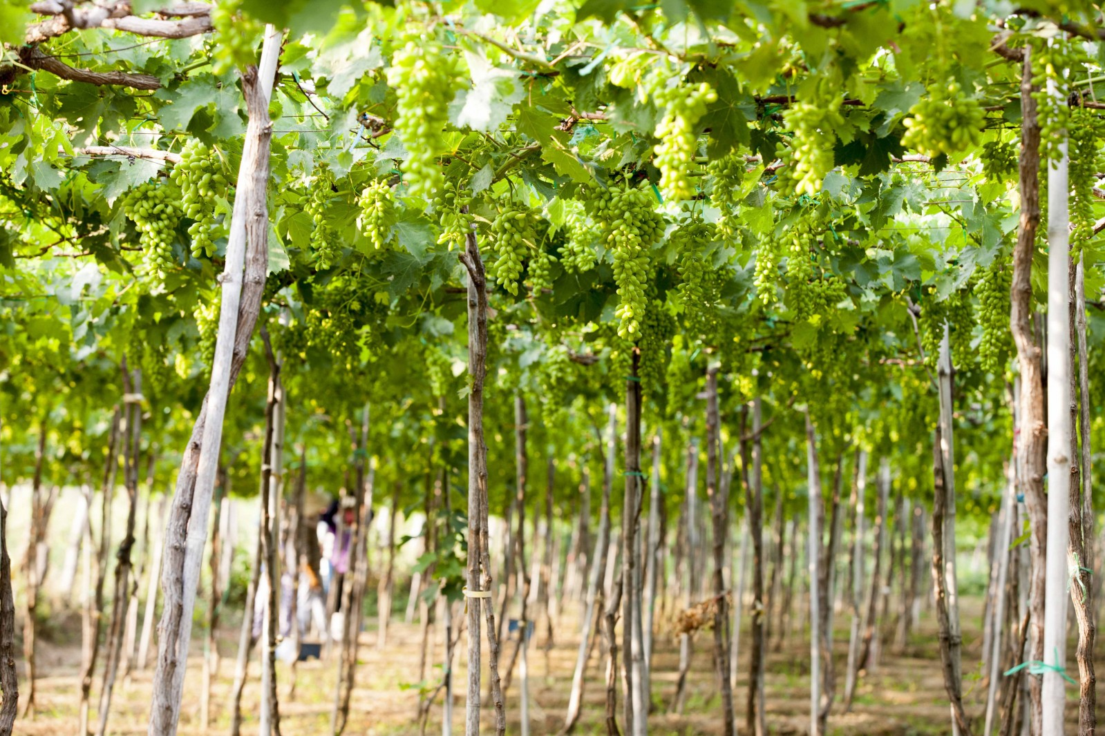 Nho trồng ở Ninh Thuận có rất nhiều giống khác nhau, trong đó có hai giống nho ăn tươi chính là nho đỏ và nho xanh và thương hiệu nho đã được Cục Sở hữu Trí tuệ cấp chứng nhận chỉ dẫn địa lý vào năm 2012.