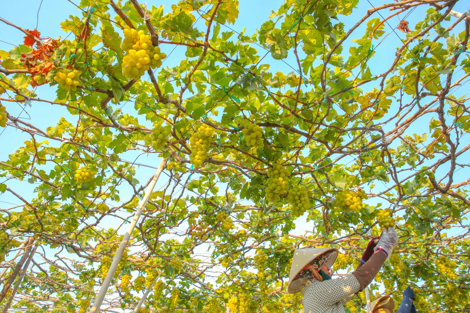 Những người nông dân tỉa bớt trái tại vườn nho xanh của trang trại nho Ba Mọi.