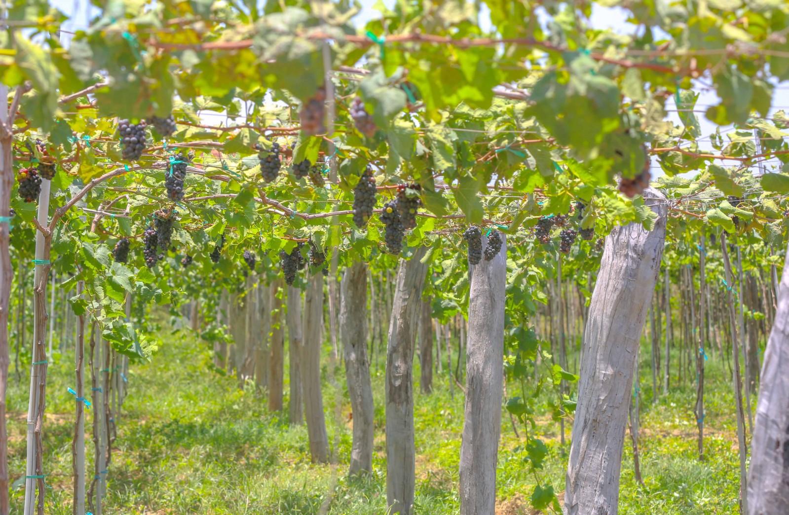 Để có nguyên liệu làm ra thứ rượu vang mang thương hiệu gia đình, trong diện tích trồng 1,5 ha nho, ngoài 1 ha nho trồng ăn tươi, trang trại nho Ba Mọi dành 0,5 ha trồng nho rượu gồm các giống: Syrah (nho rượu đỏ), giống Cabernet Sauvignon (nho rượu trắng) và Sauvignon Blanc (nho rượu trắng).