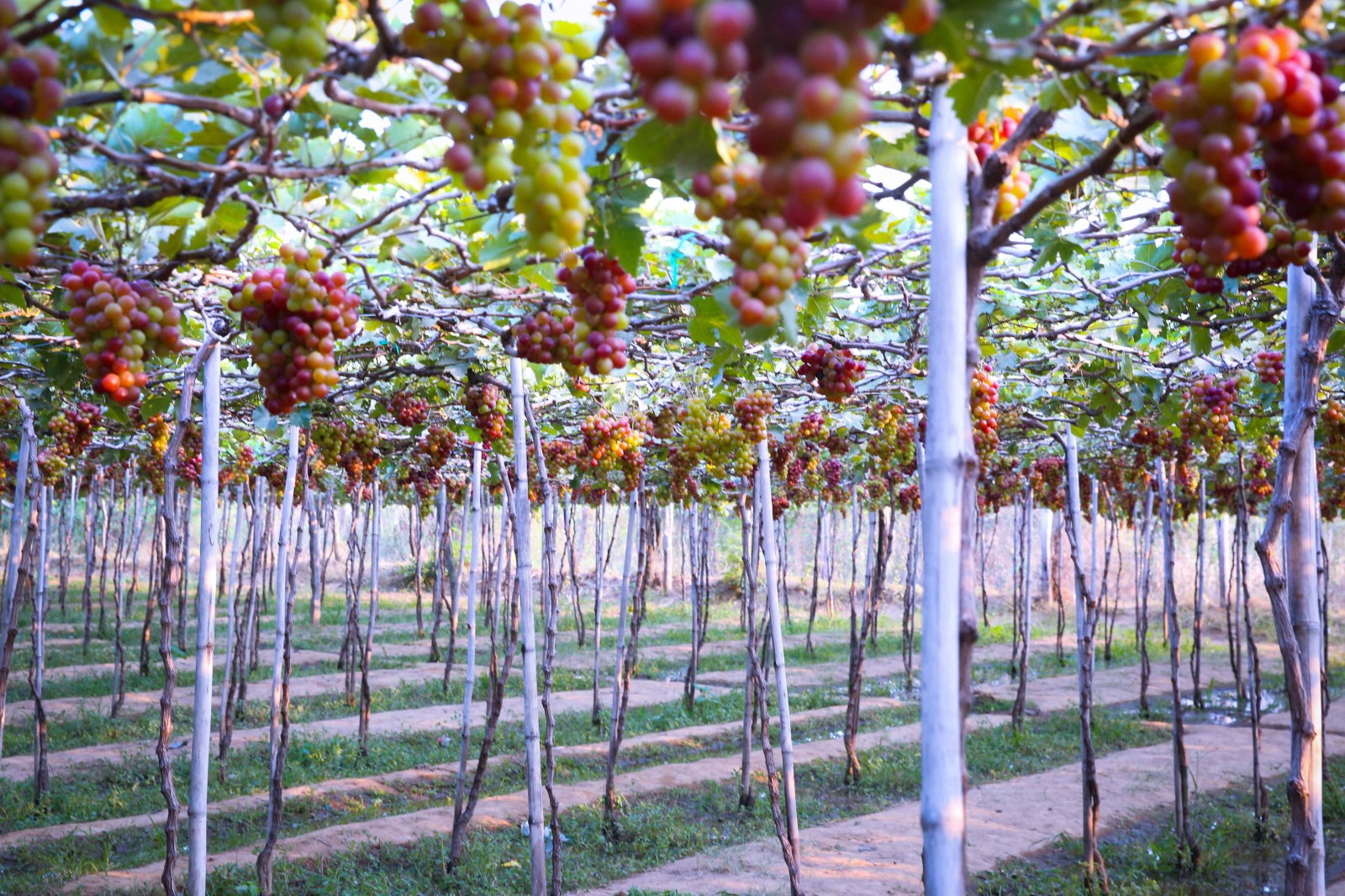 Nho trồng trên đất Ninh Thuận với đặc điểm thời tiết khô và nắng cho ra những chùm nho mọng nước, có vị ngọt nhẹ và từ lâu đã trở thành đặc sản nổi tiếng của vùng đất này.