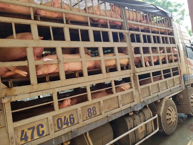 Thanh Hóa: Tiêu hủy hơn 230 con lợn nhiễm dịch tả châu Phi đang trên đường đi tiêu thụ