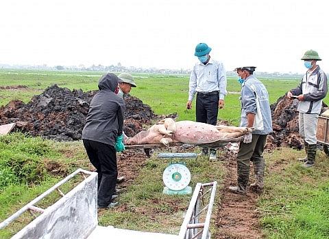 Phát hiện nhiều ổ dịch tả lợn châu Phi tại Sóc Trăng và Đồng Tháp