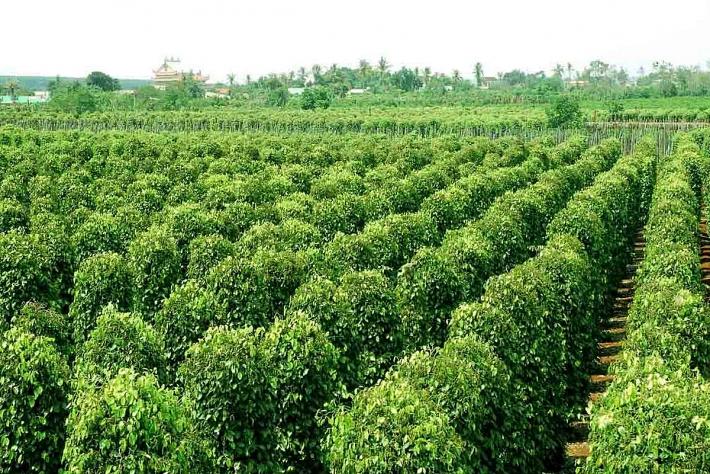 Mỹ là thị trường nhập khẩu hạt tiêu lớn nhất của Việt Nam