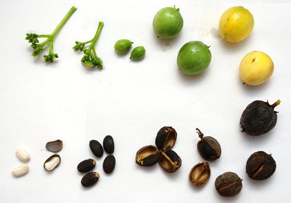 Bốn em bé ở Yên Bái ngộ độc do ăn hạt quả dầu mè - Ảnh 1.
