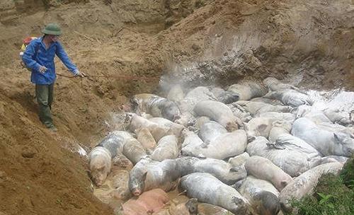 Phát hiện lợn bị dịch tả châu Phi đưa đi tiêu thụ