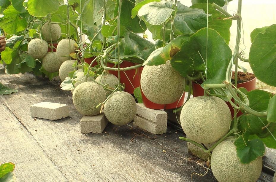 Rau củ quả 'rỗng': Hậu quả từ nông nghiệp hiện đại và ô nhiễm môi trường