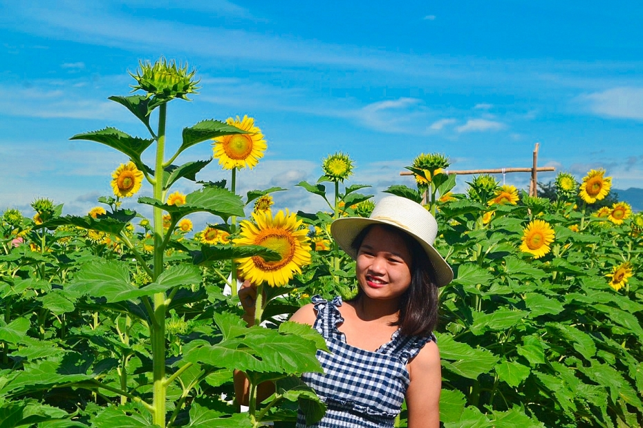 Mê mẩn với cánh đồng hoa hướng dương tại Quảng Nam