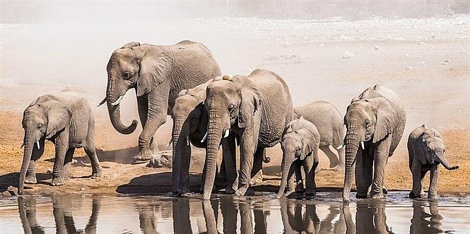 Chấm dứt xuất khẩu tàn nhẫn voi châu Phi cho các cơ sở nuôi nhốt động vật hoang dã