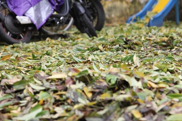 Vụ hàng sưa nghi bị đầu độc: Người dân ngửi thấy mùi hóa chất ở gốc cây - Ảnh 1.